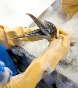 Worker washing oil off a bird